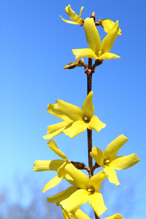 Harmonie von Frühlingsfarben: helle gelbe Forsythieblumen gegen einen blauen wolkenlosen Himmel stockbild