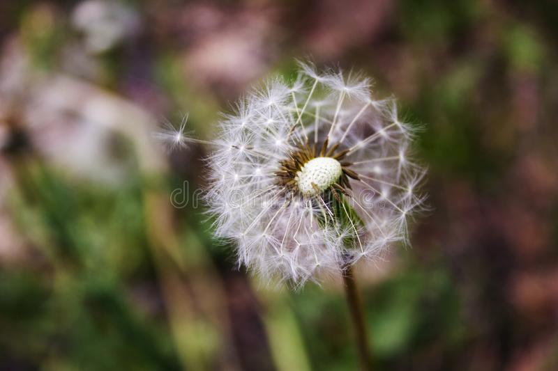 Dandelion seeds leave the flower on which they grew stock images