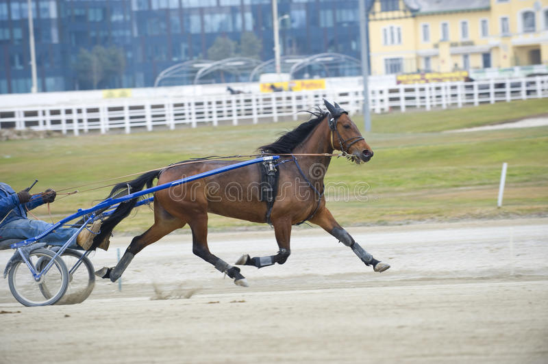 Harness horse race royalty free stock images