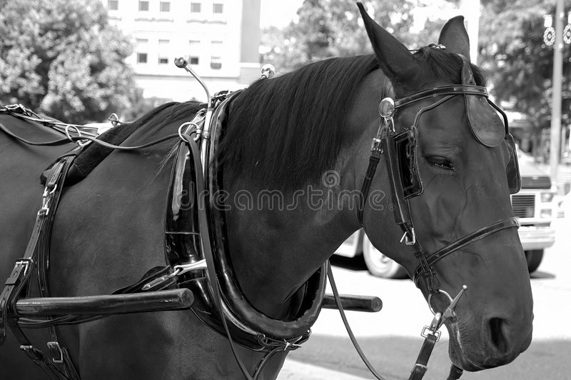 Download Harnessed Horse stock image. Image of ride, transportation - 20911