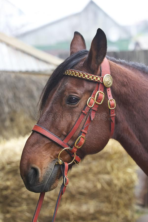 Harnessed horse. horse harness. leather and metal products, handmade. stock photography