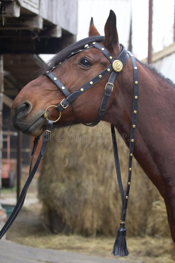 Harnessed horse. horse harness. leather and metal products, handmade. stock image