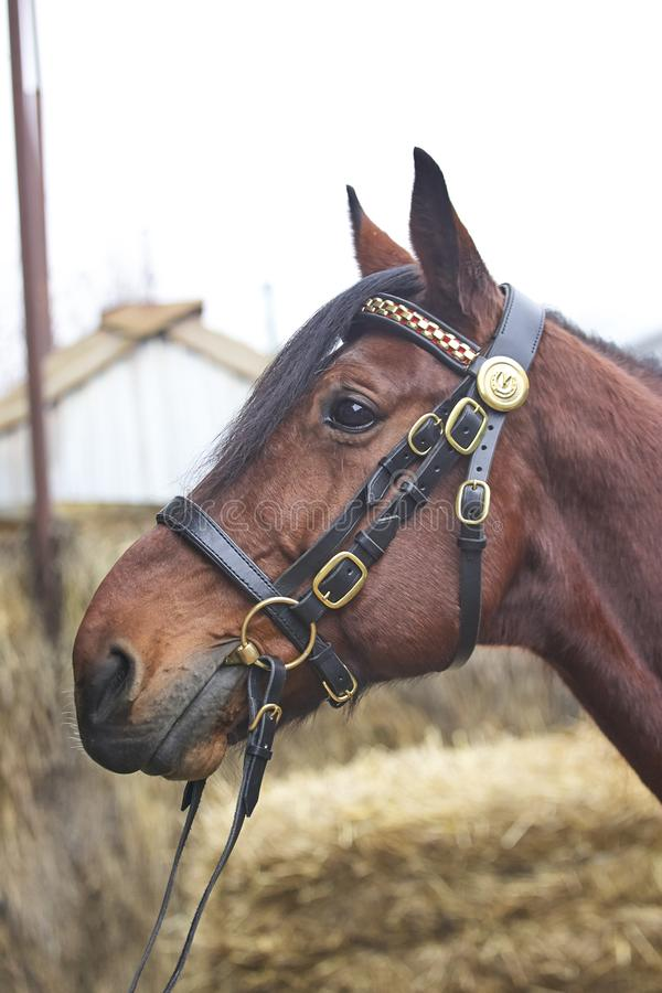 Harnessed horse. horse harness. leather and metal products, handmade. stock photos