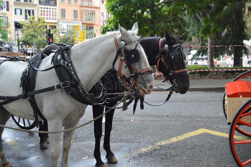 Harnessed horses and coach waiting for passengers and tourists in the historic center of Palma de Mallorca, Spain, 10 royalty free stock photos