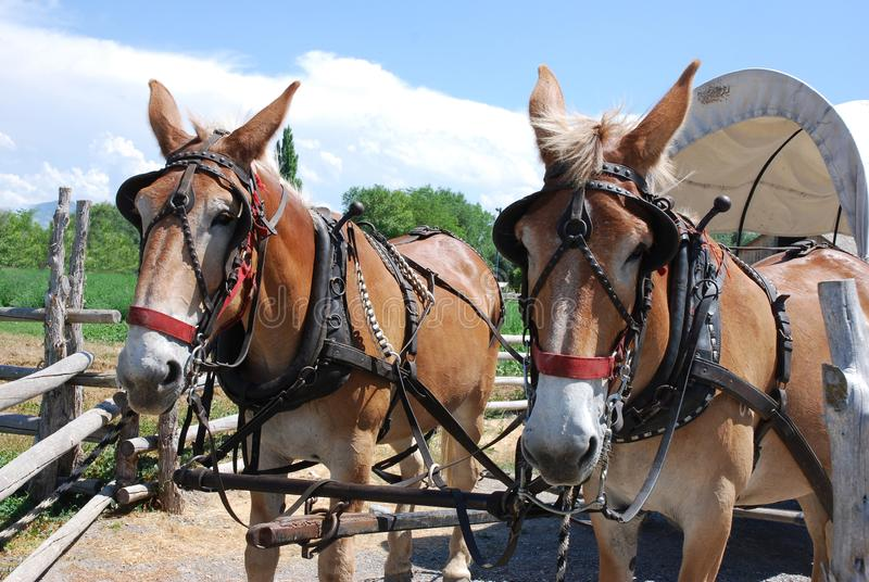 Harnessed horses pull a covered wagon. In the fields with two harnessed horses drawing a covered wagon stock photo