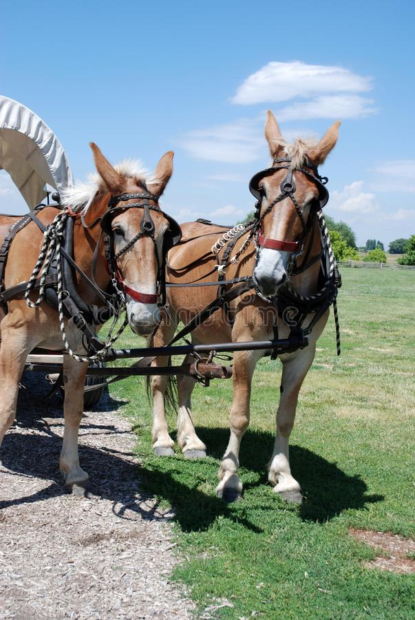 Harnessed horses pull a covered wagon. In the fields with two harnessed horses drawing a covered wagon royalty free stock photos