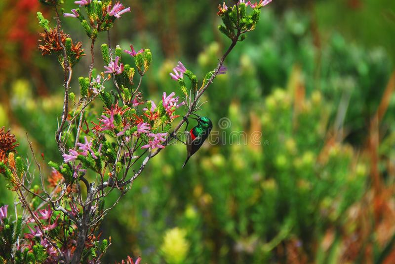 Harold Porter Botanical Gardens Feche acima de Sunbird colocado um colar dobro minúsculo, belamente colorido em flores roxas, em  fotos de stock