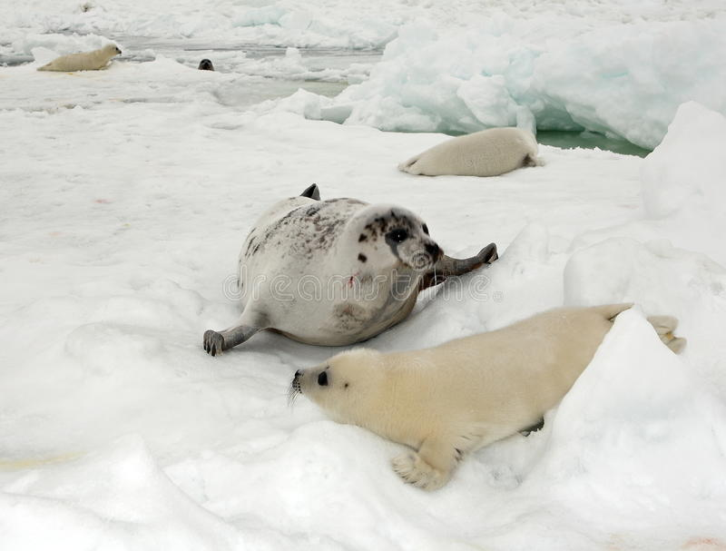 Harp seal cow and newborn pup on ice stock photo