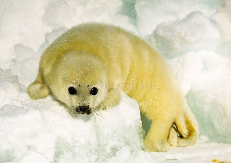 Harp Seal Pup. Newly born harp seal pup on ice flow