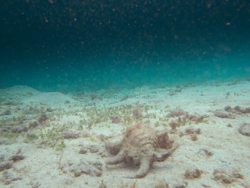 Harpagochiragra of Chiragra-spinkroonslak of overzeese die slak dichtbij de Vissershaven van Kasari in Amam wordt gevonden royalty-vrije stock afbeeldingen