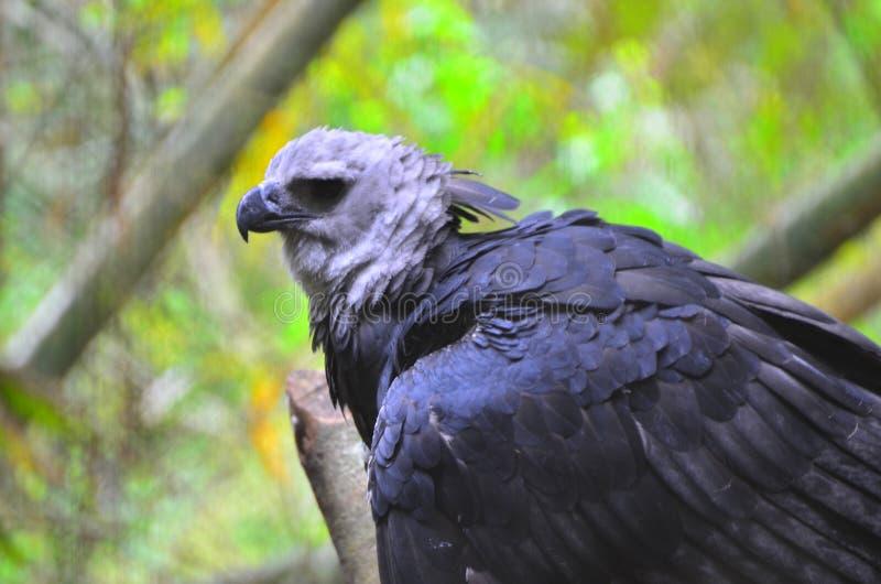 Harpia Eagle no jardim zoológico de Belize foto de stock