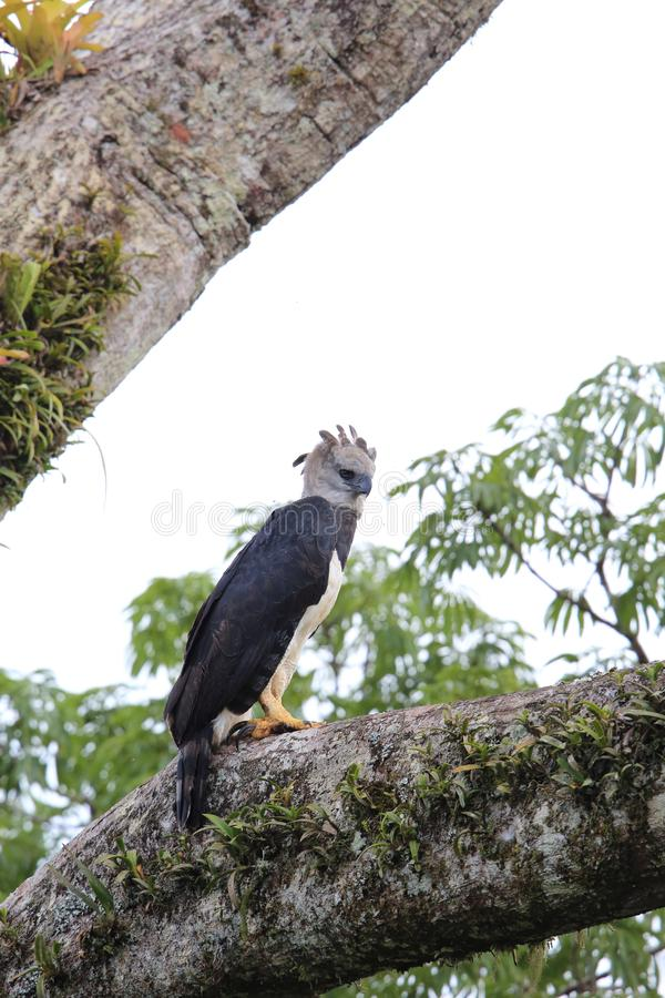 Harpie Eagle en Equateur, Amérique du Sud photo libre de droits