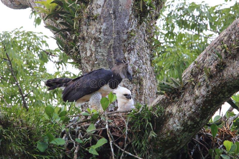 Harpie Eagle en Equateur, Amérique du Sud photos stock