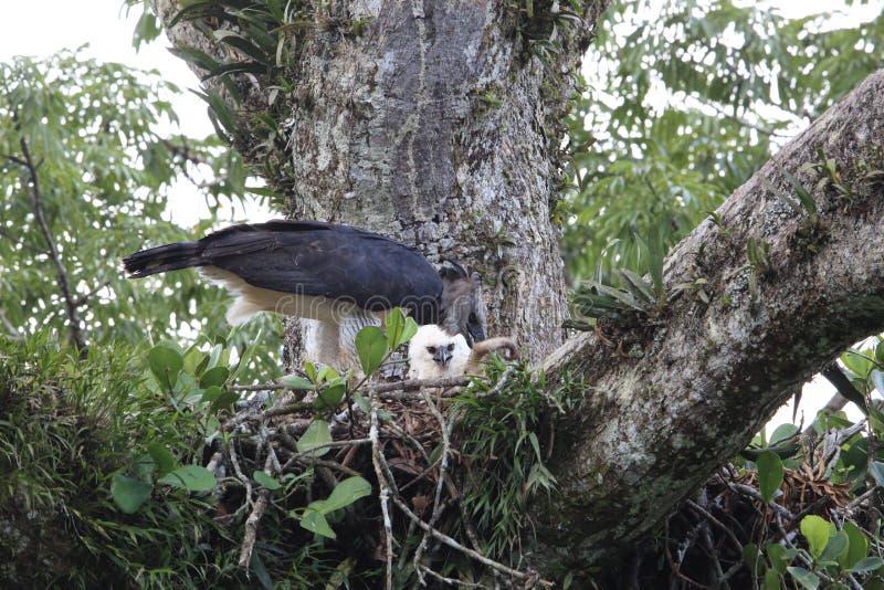 Harpie Eagle en Equateur, Amérique du Sud image stock