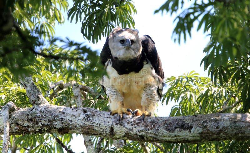 Harpie Eagle en Equateur, Amérique du Sud photos libres de droits