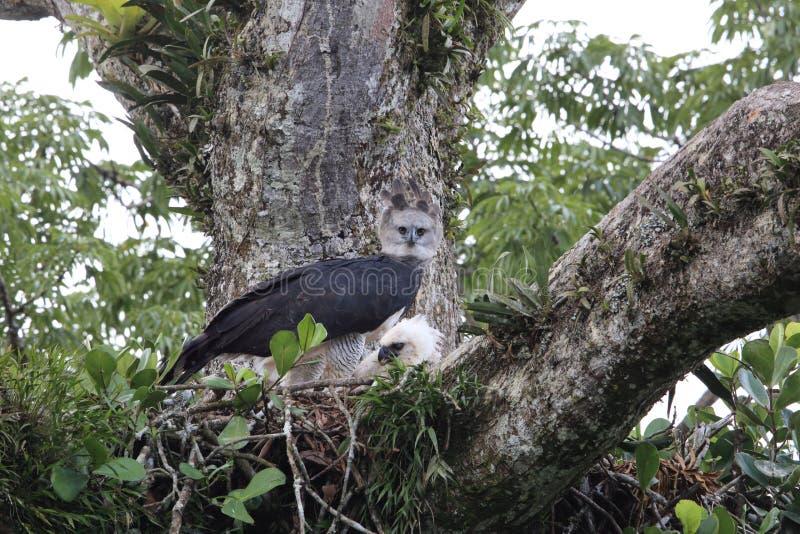 Harpie Eagle en Equateur, Amérique du Sud photo stock