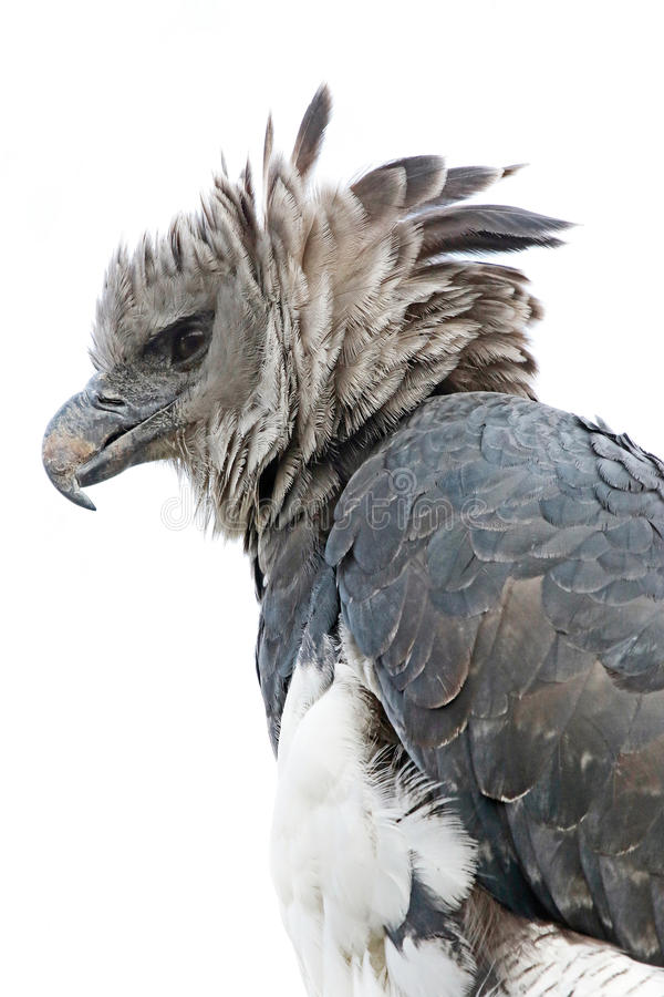 Harpyörn royaltyfri fotografi