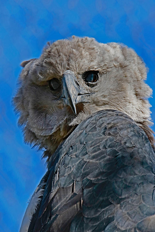 Harpyörn arkivfoto