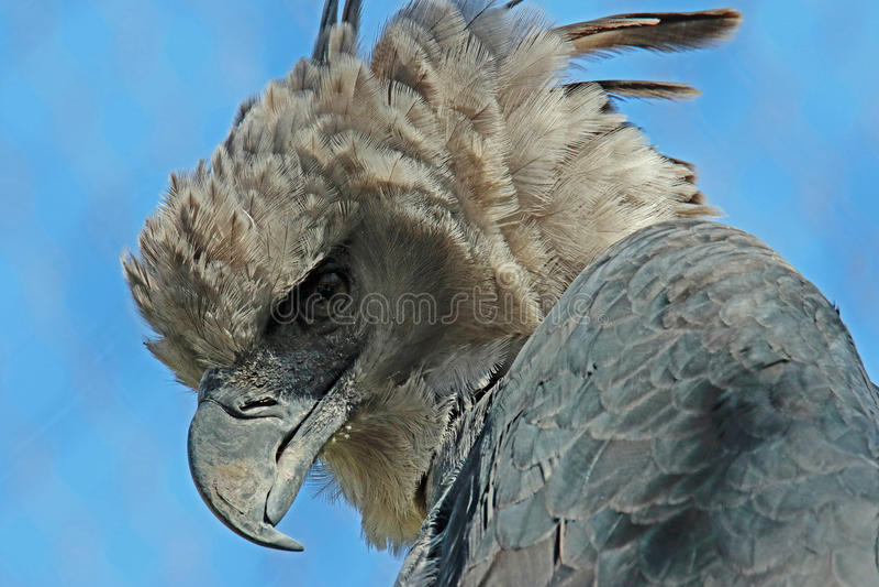 Harpyörn arkivbild