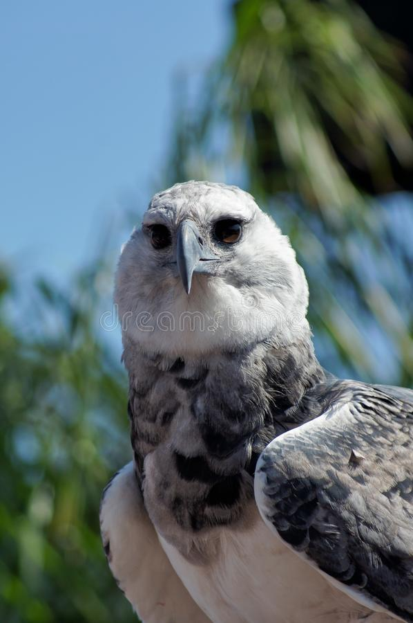 Harpy-Adler stockfotografie