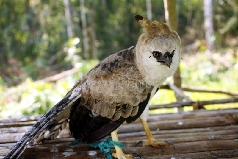 harpy d'aigle photo libre de droits