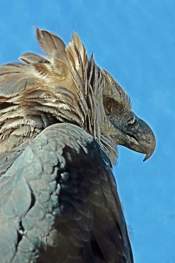 Harpy Eagle. Close up detail of endangered neotropical predator bird royalty free stock photos