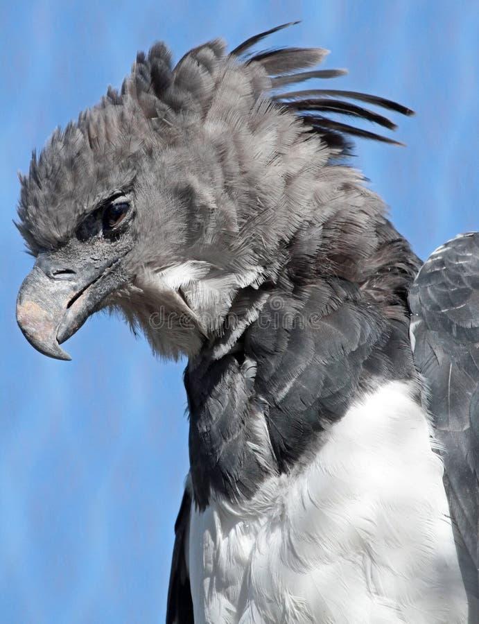 Harpy orzeł obrazy royalty free