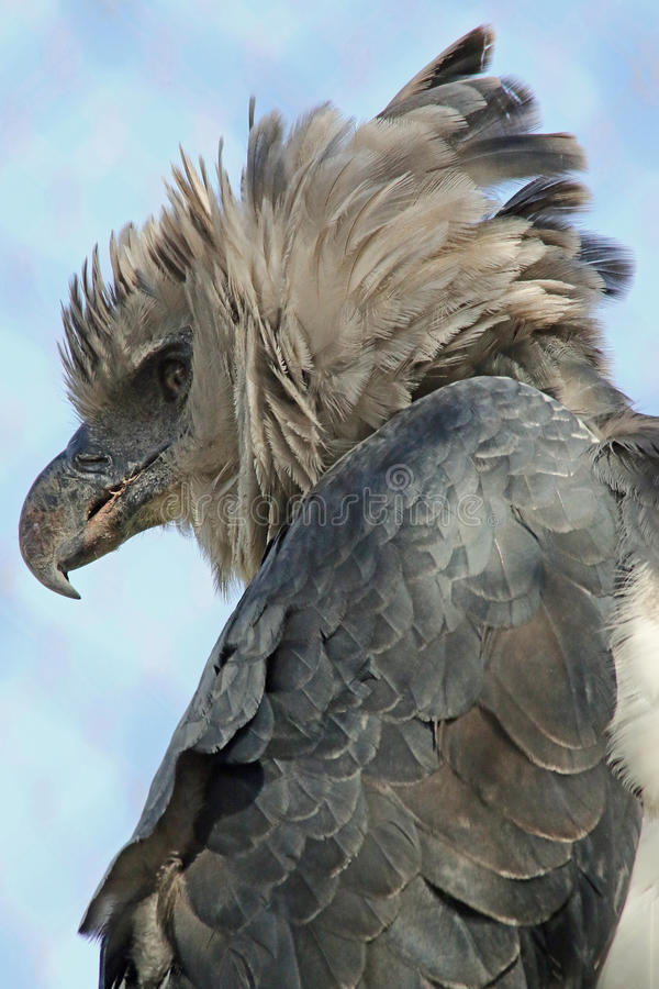 Harpy orzeł zdjęcie royalty free
