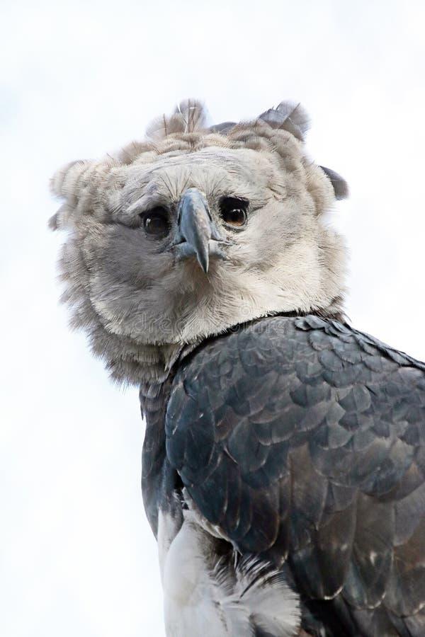 Harpy orzeł fotografia royalty free