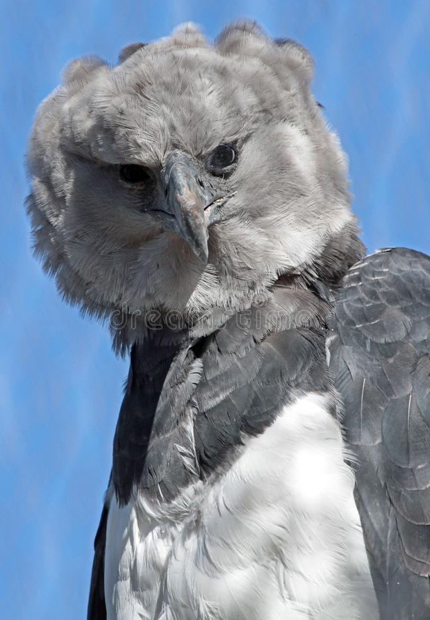 Harpye lizenzfreies stockbild