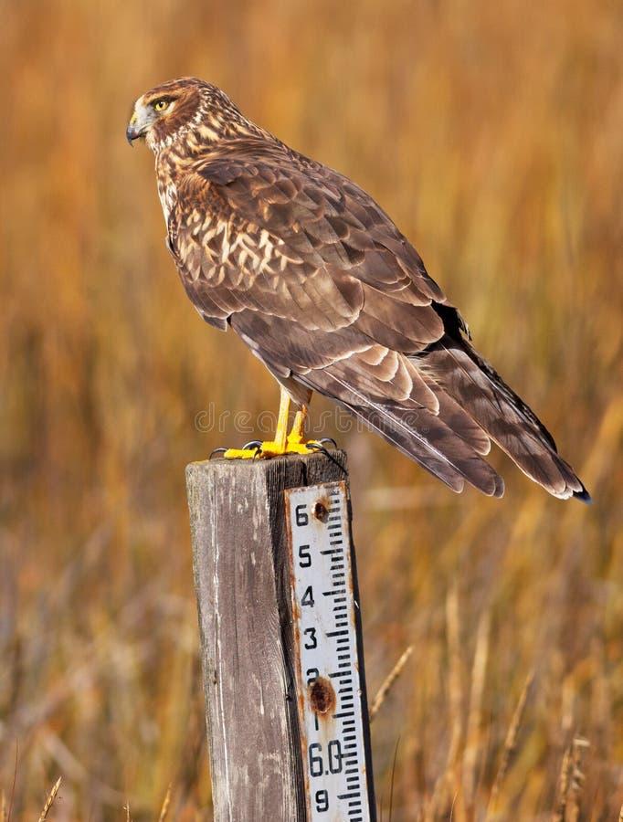 Harrier photo libre de droits