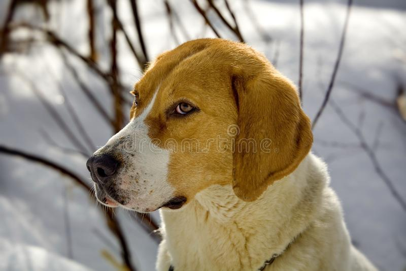 Harrier Beagle in a forest. Harrier Beagle walking in the forest. For hunting a large beast. English breed of dogs stock images