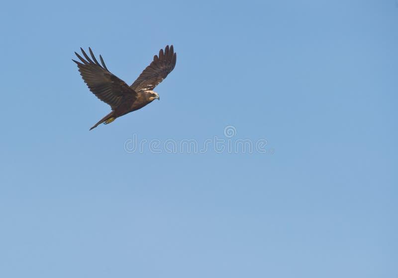 Harrier de pântano fêmea no vôo fotografia de stock royalty free