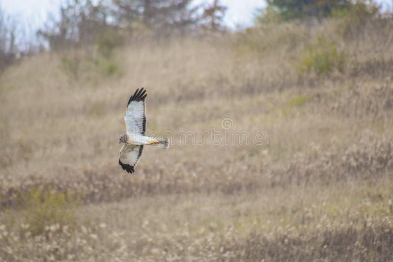Harrier do norte fotos de stock royalty free