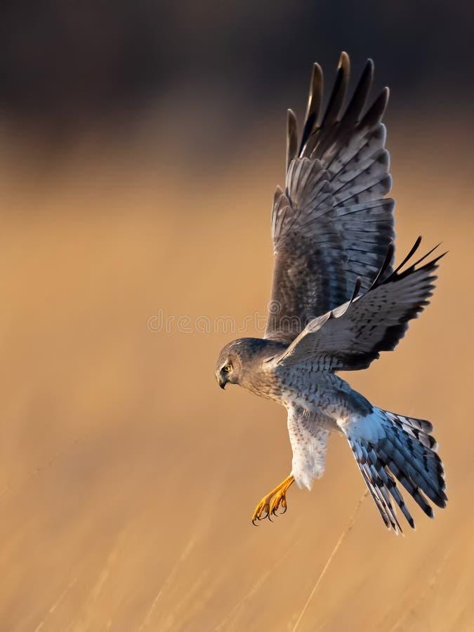 Harrier do norte no v?o que come? pronto para atacar na rapina imagens de stock royalty free