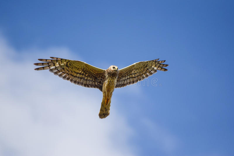 Harrier du nord photo stock