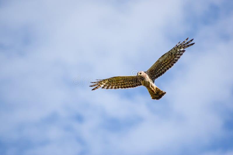 Harrier du nord photos stock