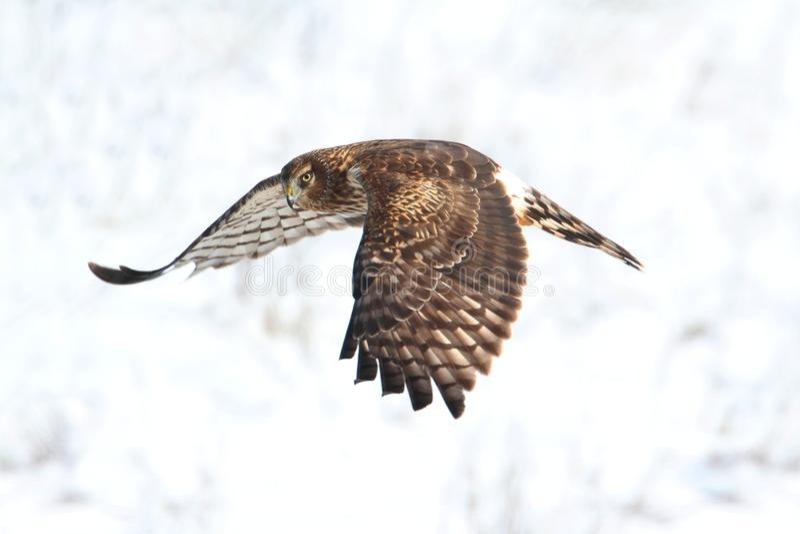 Harrier du nord (cyaneus de cirque) images stock