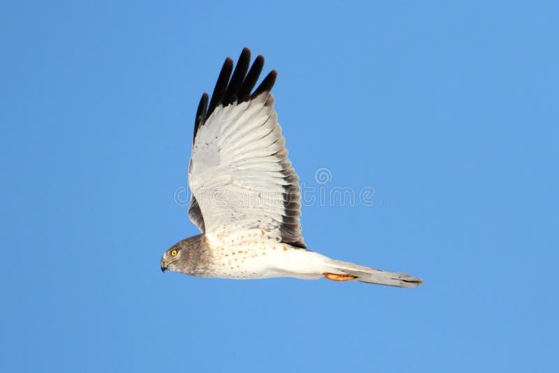 Harrier du nord (cyaneus de cirque) photographie stock