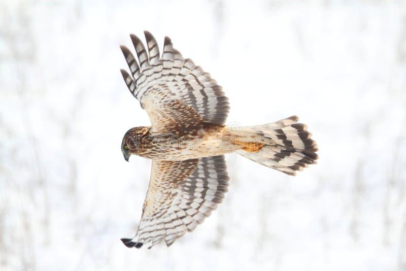 Harrier du nord (cyaneus de cirque) image stock