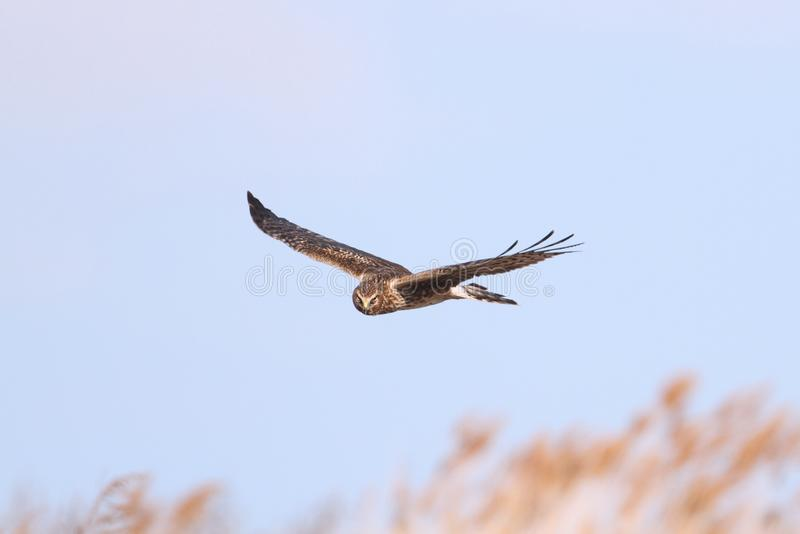 Harrier du nord (cyaneus de cirque) photos libres de droits