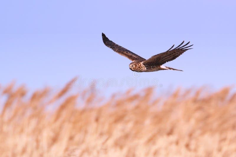 Harrier du nord (cyaneus de cirque) images libres de droits