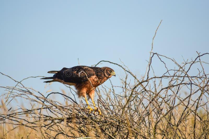 Harrier du nord femelle photos stock