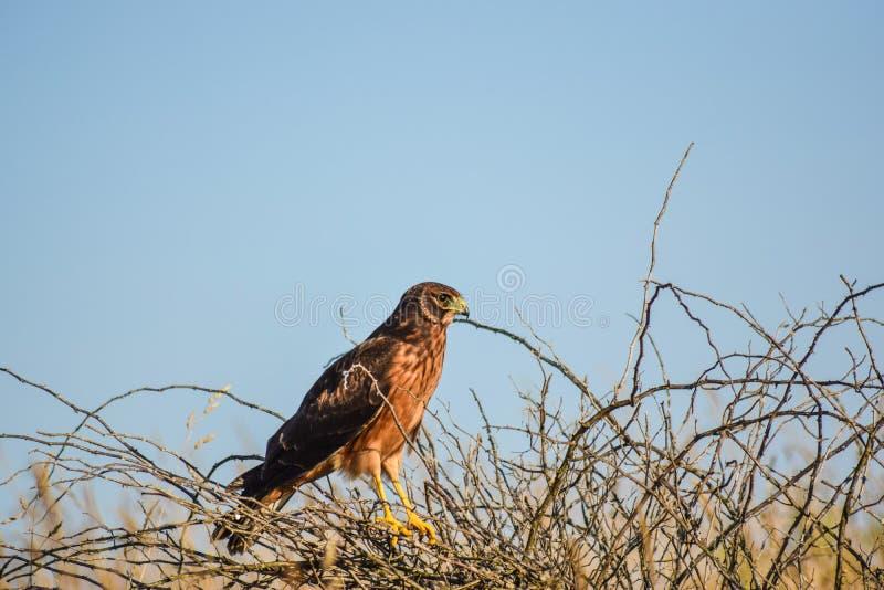 Harrier du nord femelle photo libre de droits