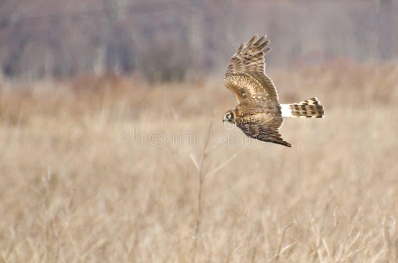 Harrier du nord volant au-dessus du marais image libre de droits