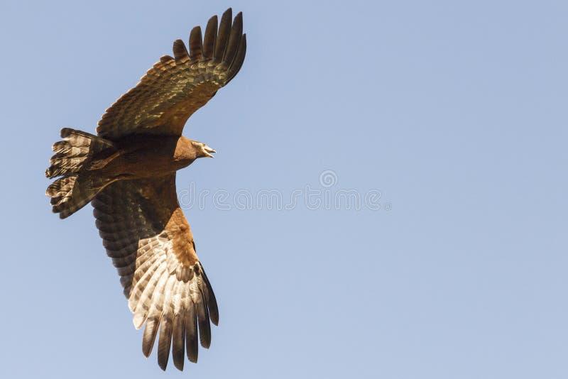 Harrier-falc?o africano em voo fotos de stock