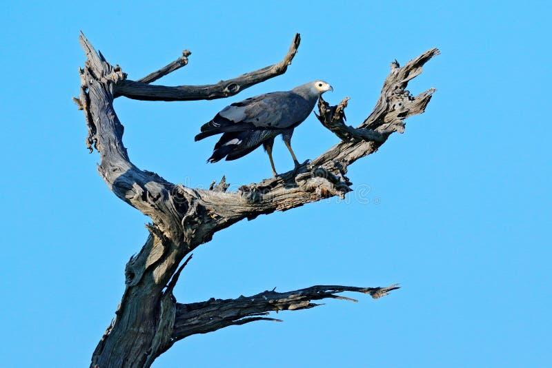 Harrier-falcão africano, typus de Polyboroides, pássaro com plumagem cinzenta Eagle que senta-se na parte superior da árvore, céu foto de stock