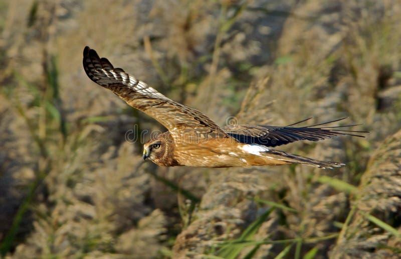 Harrier nordique photographie stock libre de droits