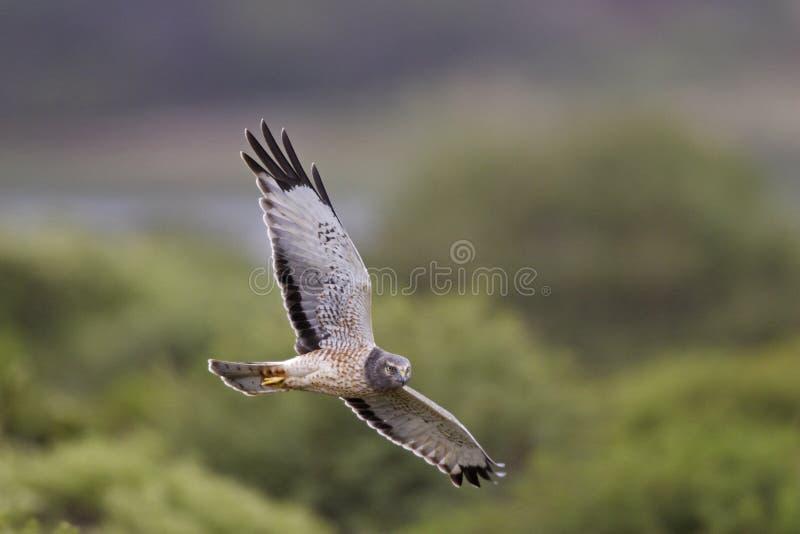 Harrier nordique photos libres de droits