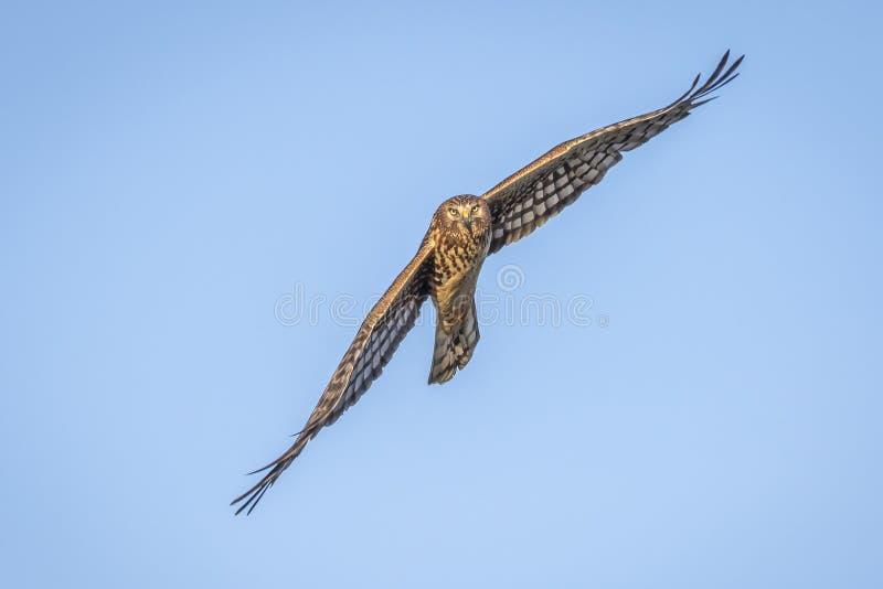 Harrier nordique en vol image libre de droits